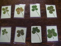 Four_leaf_clovers